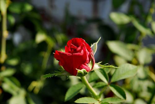 Fiori in giardino rose fotografie for Giardino fiori